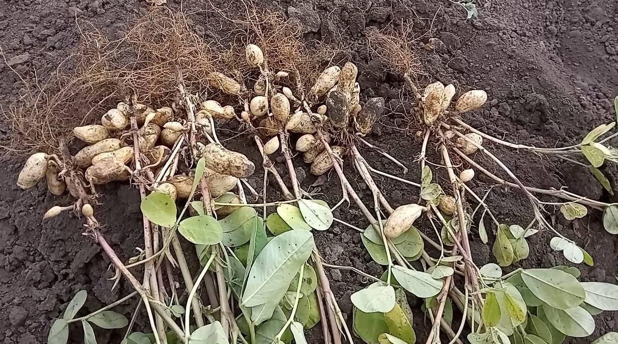 Как и где растет арахис в природе. родина арахиса