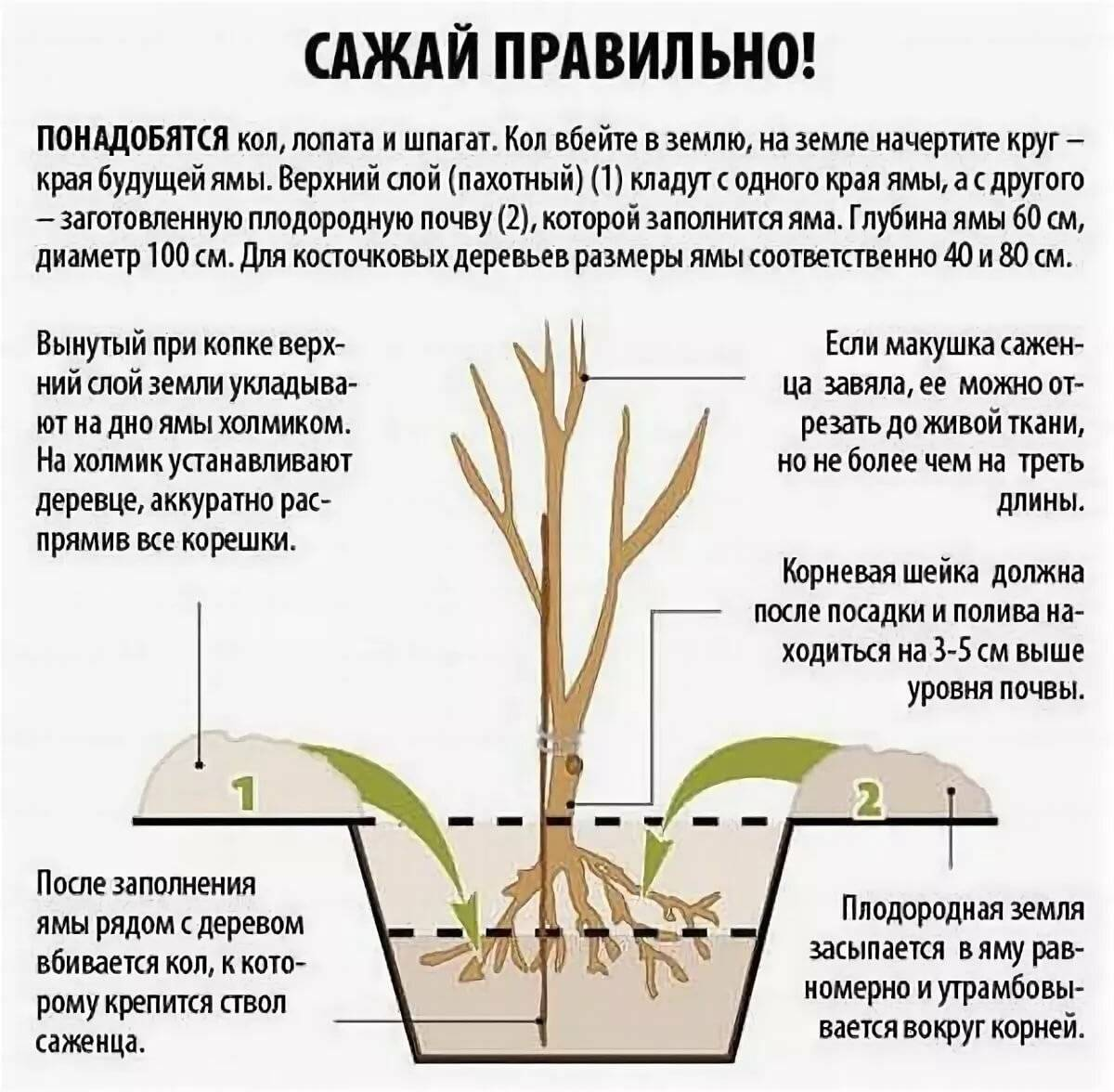 Где миндаль растет в природе, какие сорта существуют? особенности выращивания и использования