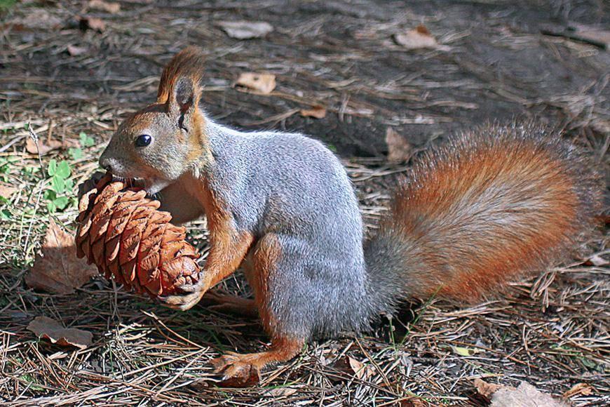 Что едят белки кроме орехов и чем их кормить в парке