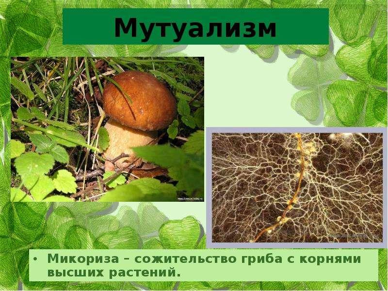 Микориза: ботаническое определение типов и строение грибов, значение для корневой системы растений