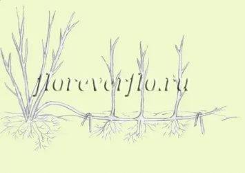 Фундукcorylus avellana