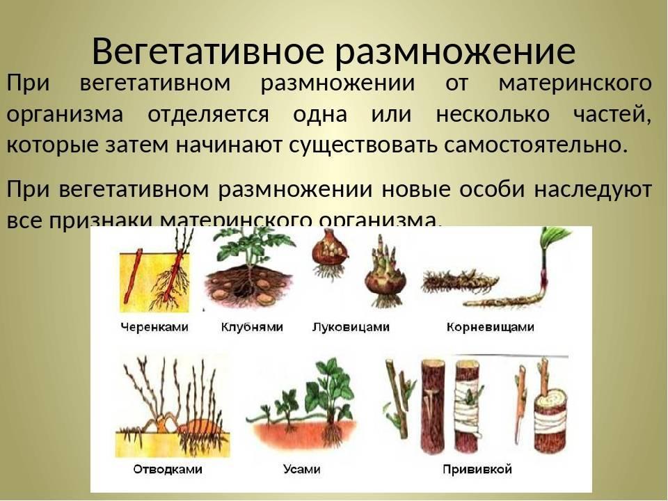 Вегетативное размножение растений - виды, способы, примеры - помощник для школьников спринт-олимпик.ру