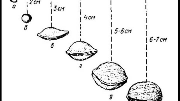 5 «китов» обрезки лещины – как добиться ежегодного плодоношения и крупных плодов фундука?