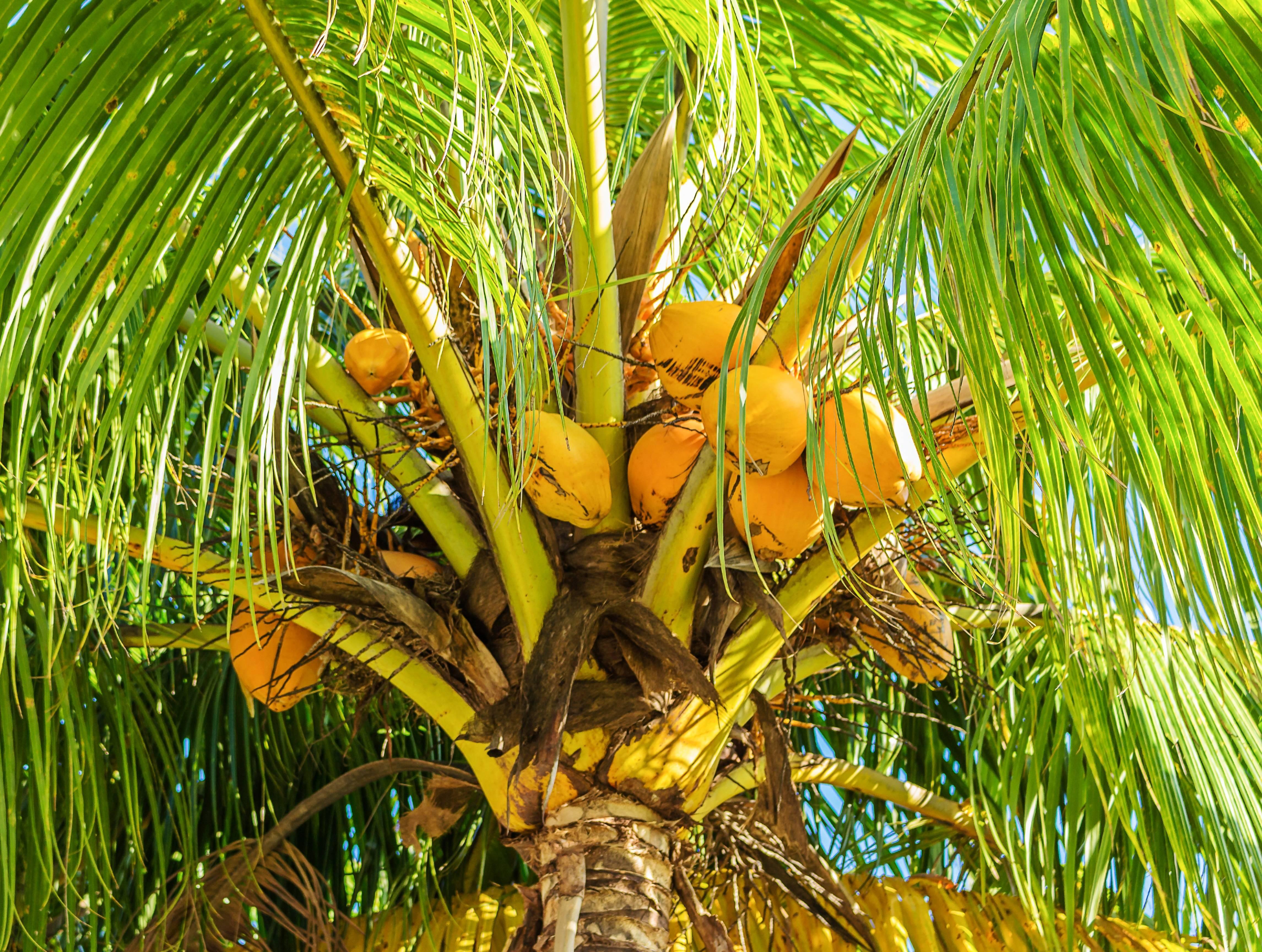 Кешью: как растет в природе ореховое дерево, как выглядит плод в скорлупе, а также орешки без оболочки, где выращивают продукт, в каких странах, как добывают ядра?