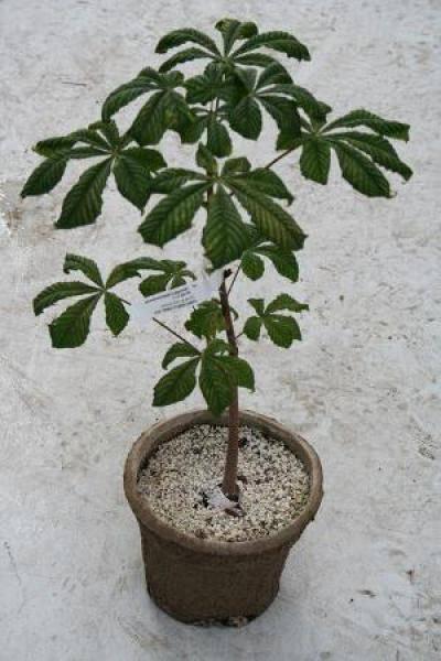 Как посадить и вырастить каштан из ореха в домашних условиях
