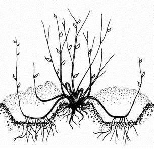 Размножение фундука отводками (дужкой)