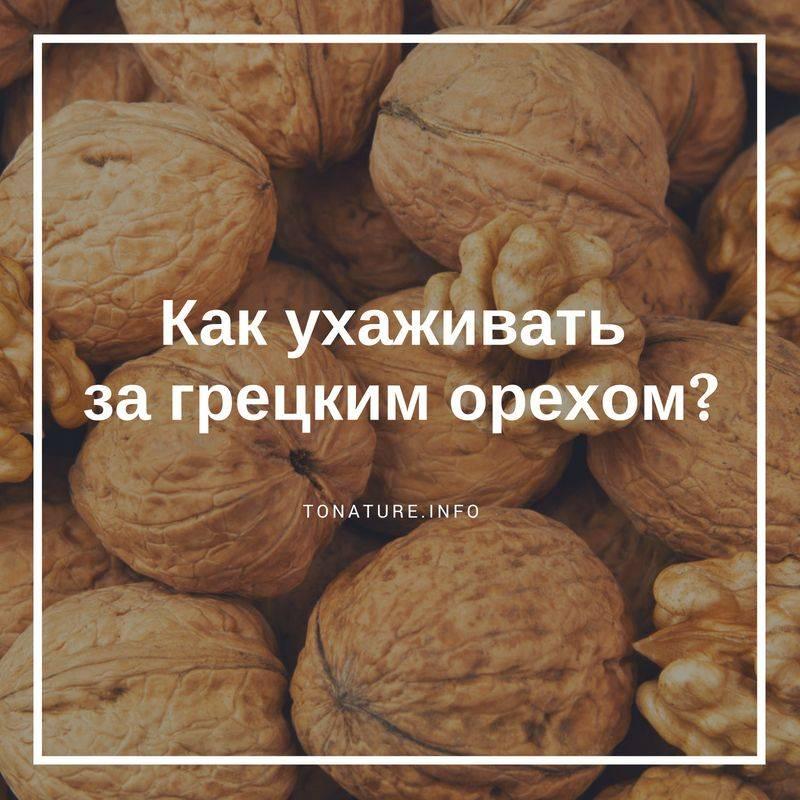 Грецкий орех идеал: характеристики сорта, урожайность, фото, отзывы