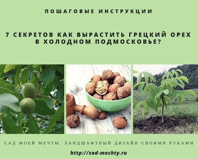 Как прорастить грецкий орех для посадки в домашних условиях из семян - орех эксперт