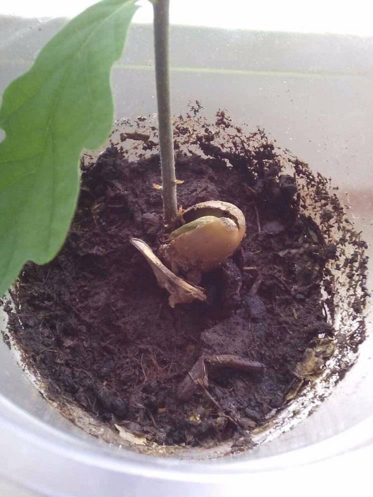 Как вырастить дуб из желудя в домашних условиях - 105 фото как прорастить дерево и где его лучше всего посадить