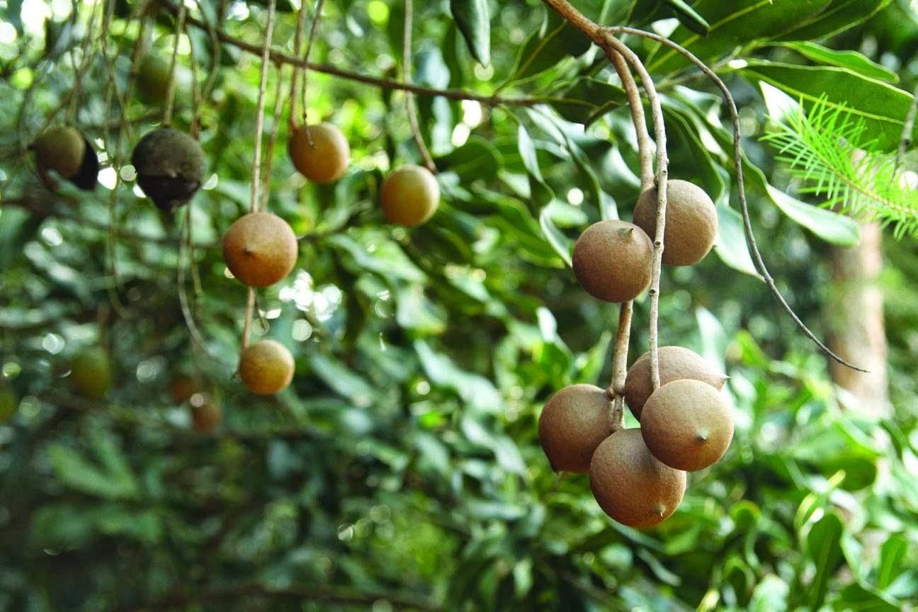 Орех макадамия: полное описание от а до я. много фото + видео