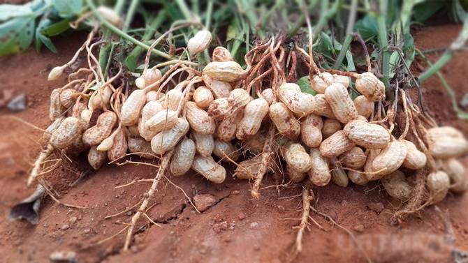 Как вырастить арахис: в домашних условиях на огороде