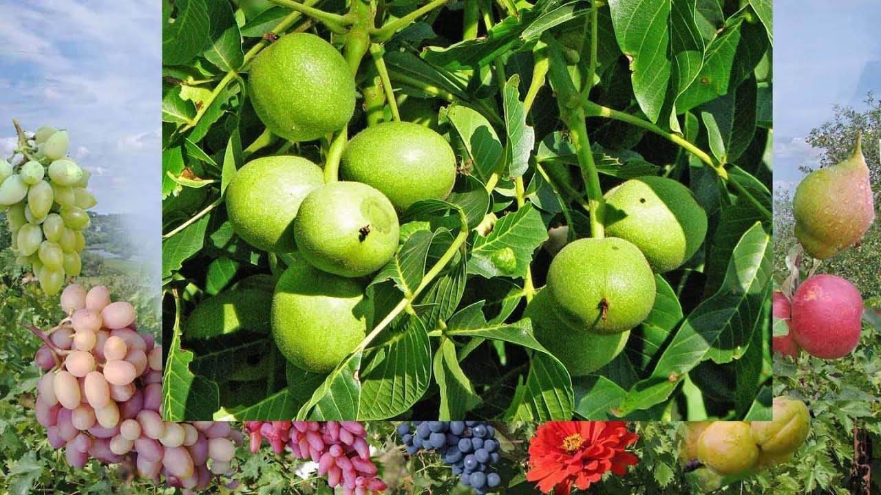 Божественный орех – грецкий. выращивание грецкого ореха в саду
