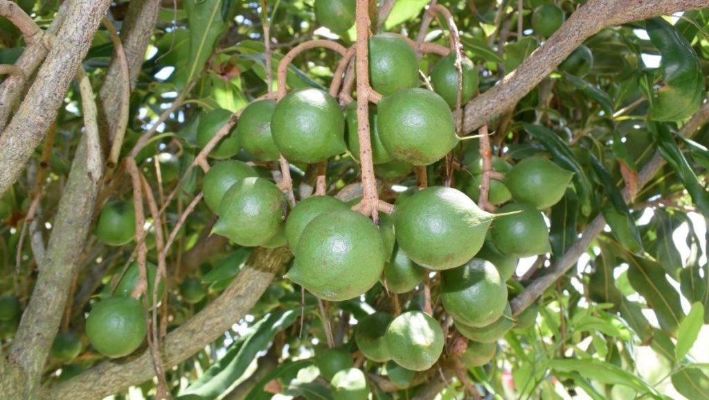 Как надпиливают орех макадамия на производстве