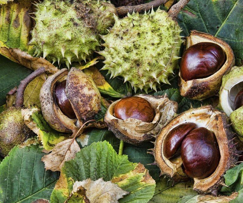 Удивительные лечебные свойства и пугающие противопоказания конского каштана