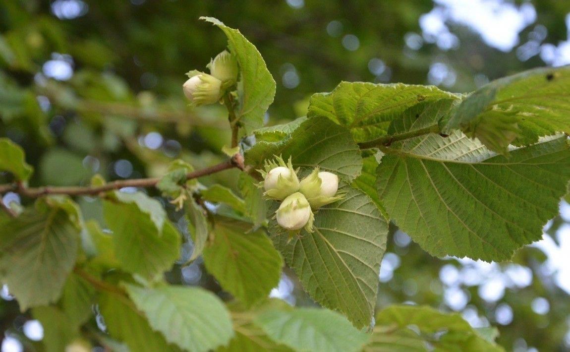 Лесной орех и фундук: в чем разница, как выглядит и называется