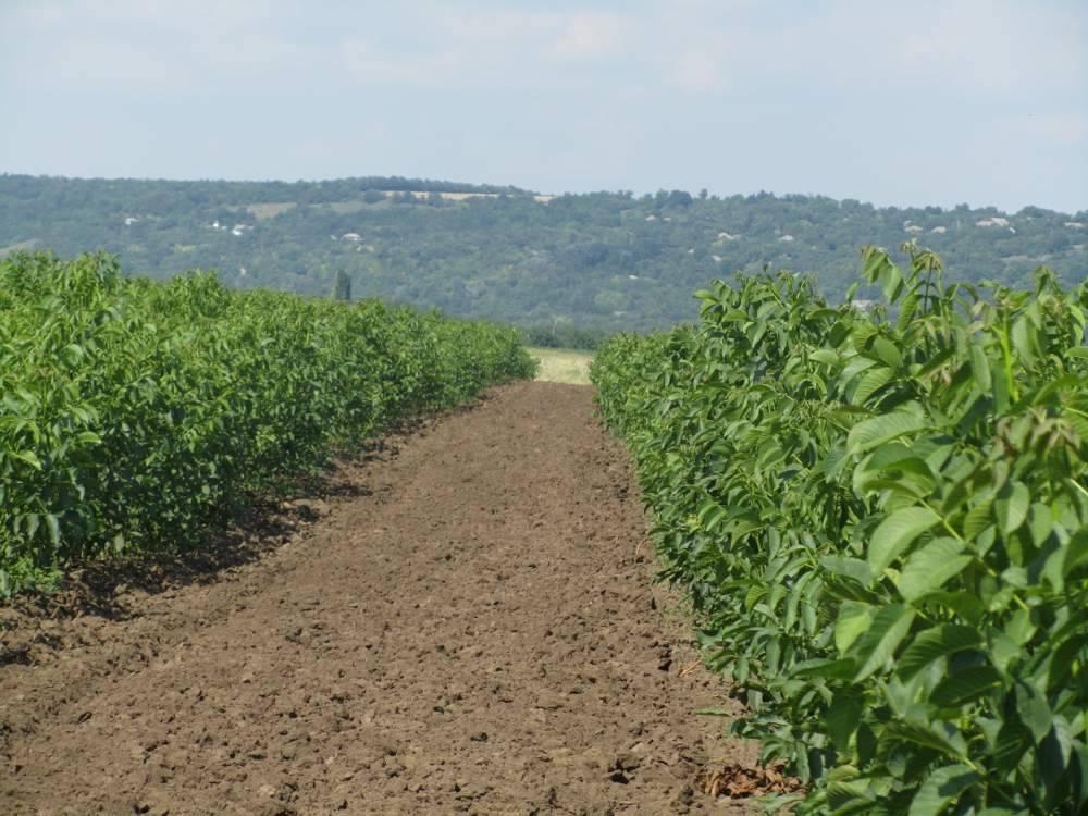 Второе поле питомника грецкого ореха
