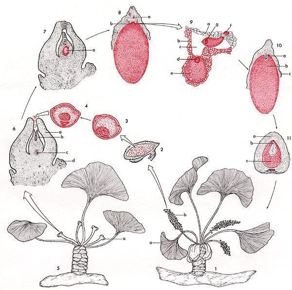 Опунция цилиндрическая – уход в домашних условиях, фото кактуса, размножение, болезни