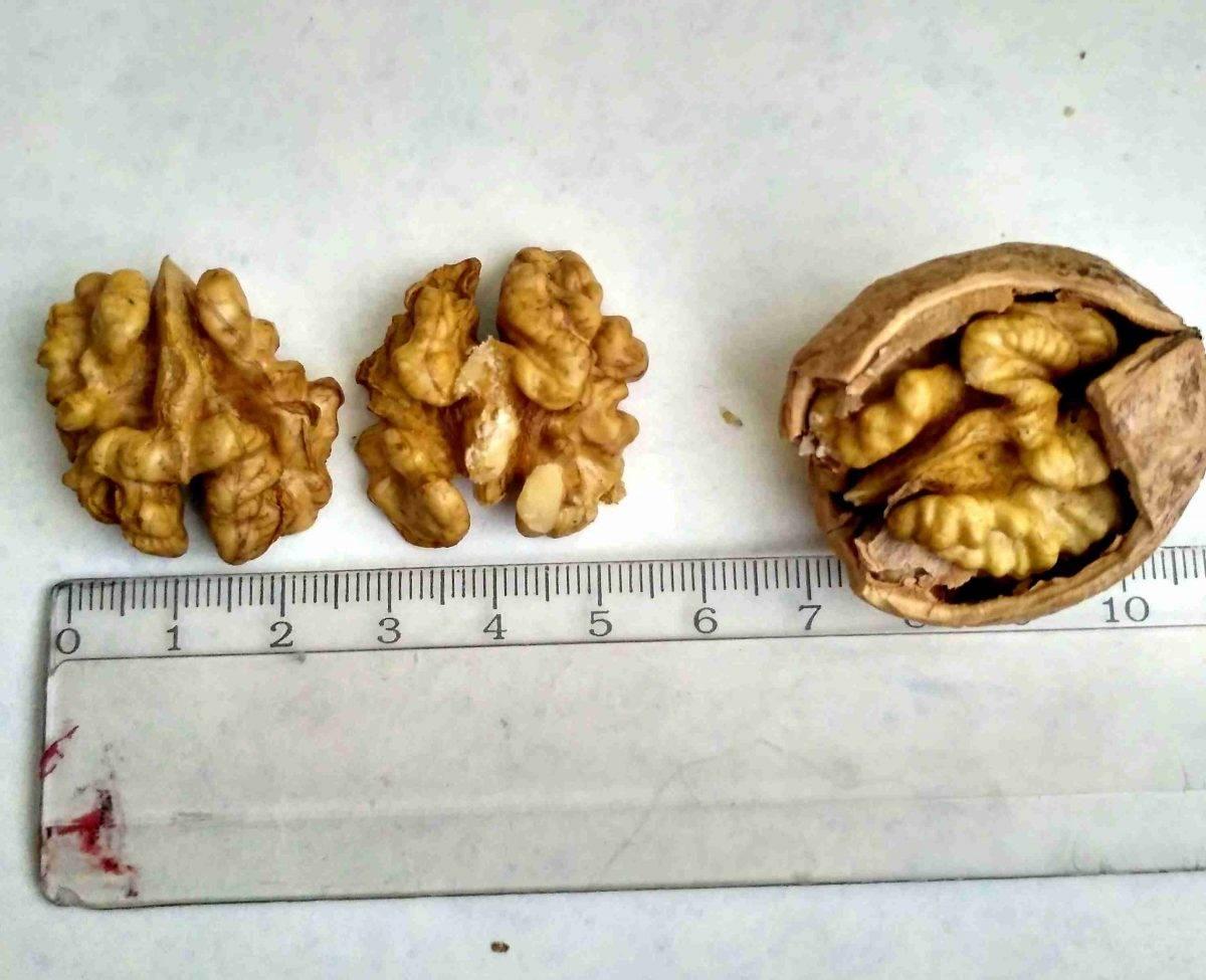 Орех из Лопатинского сада