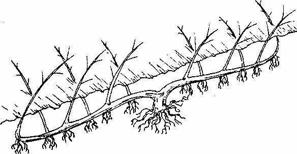Лещина обыкновенная – как размножается отводками, делением куста, черенками и орехами, почему не плодоносит?