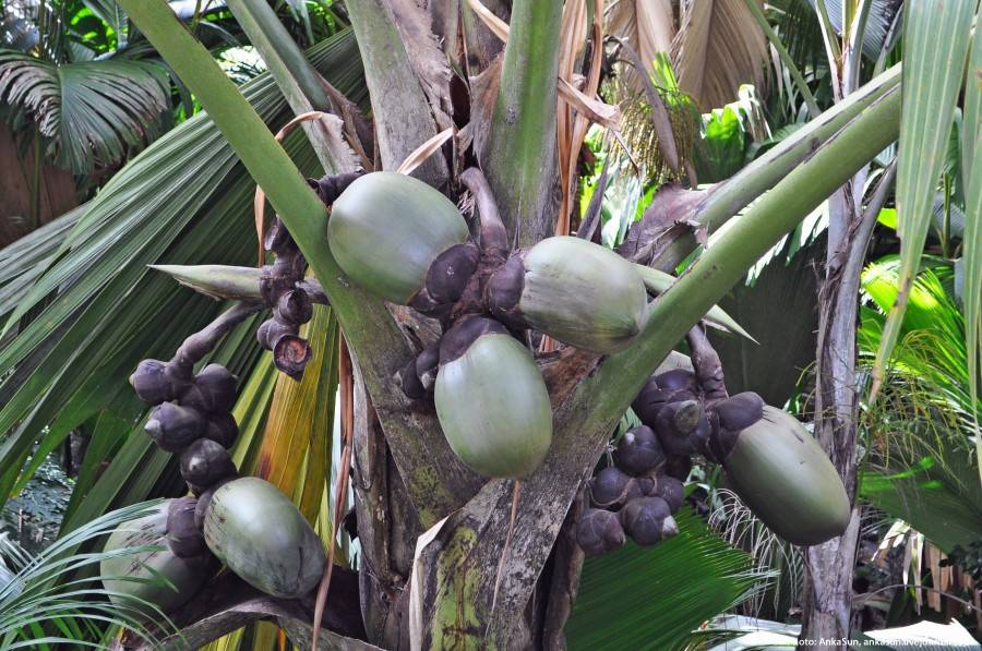 Коко-де-мер - самый необычный кокос - zefirka