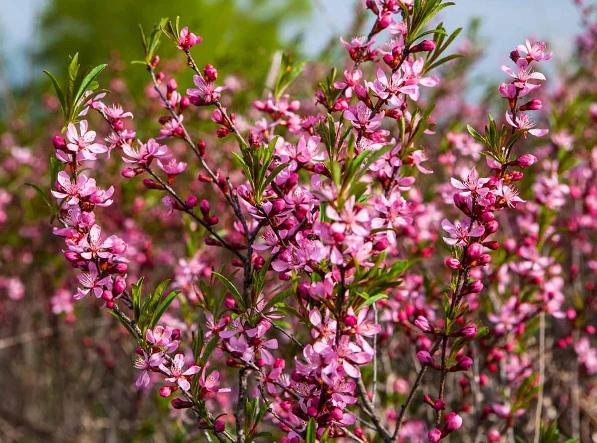 ᐉ дерево миндаль: посадка и уход, фото, выращивание, обрезка, прививка, виды и сорта - roza-zanoza.ru