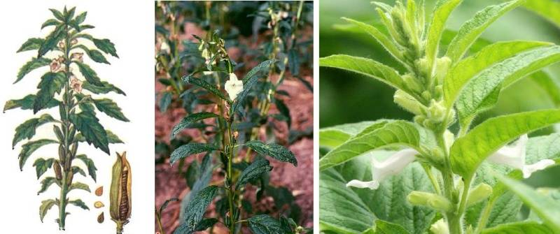 Кунжут: как растет и где? виды кунжута, выращивание, полезные свойства