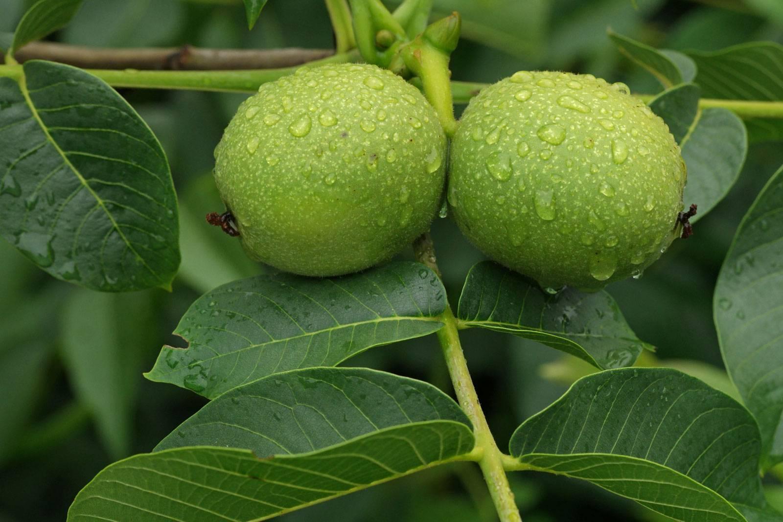 Выращивание селекционных сортов грецкого ореха, устойчивых к возвратным заморозкам в условиях средней полосы