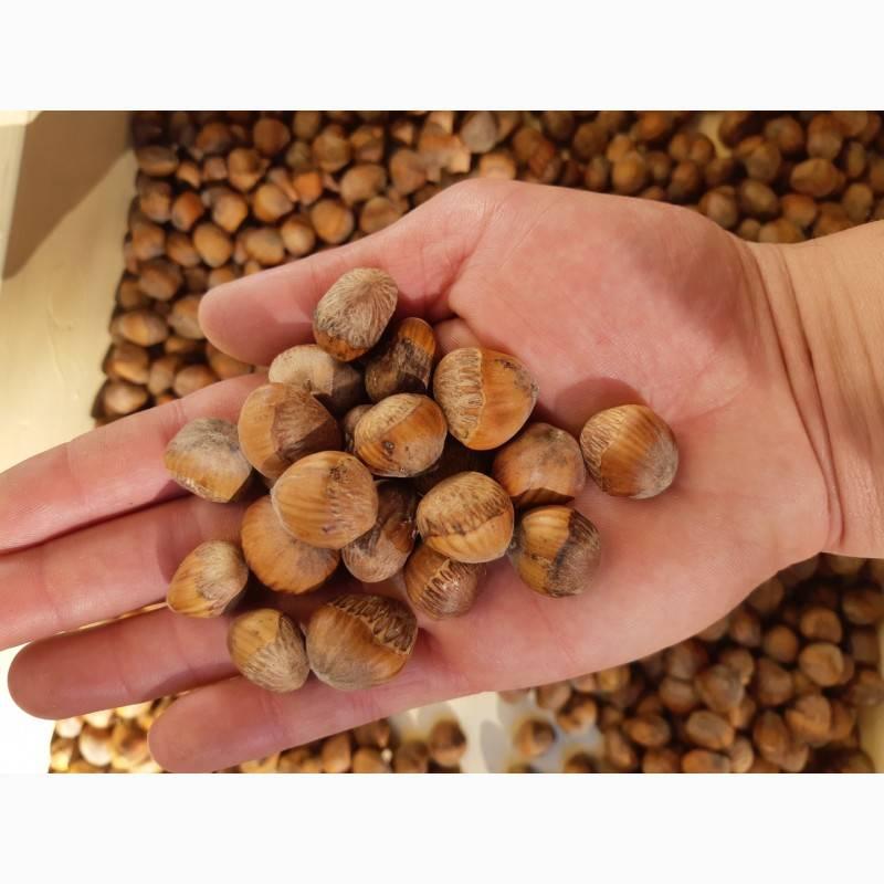 Прививка лещины на медвежий орех | огородники