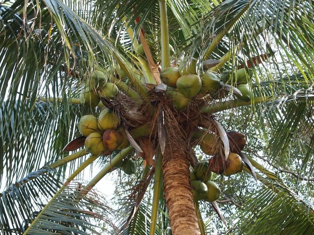 Как и где растут кокосы на кокосовой пальме?