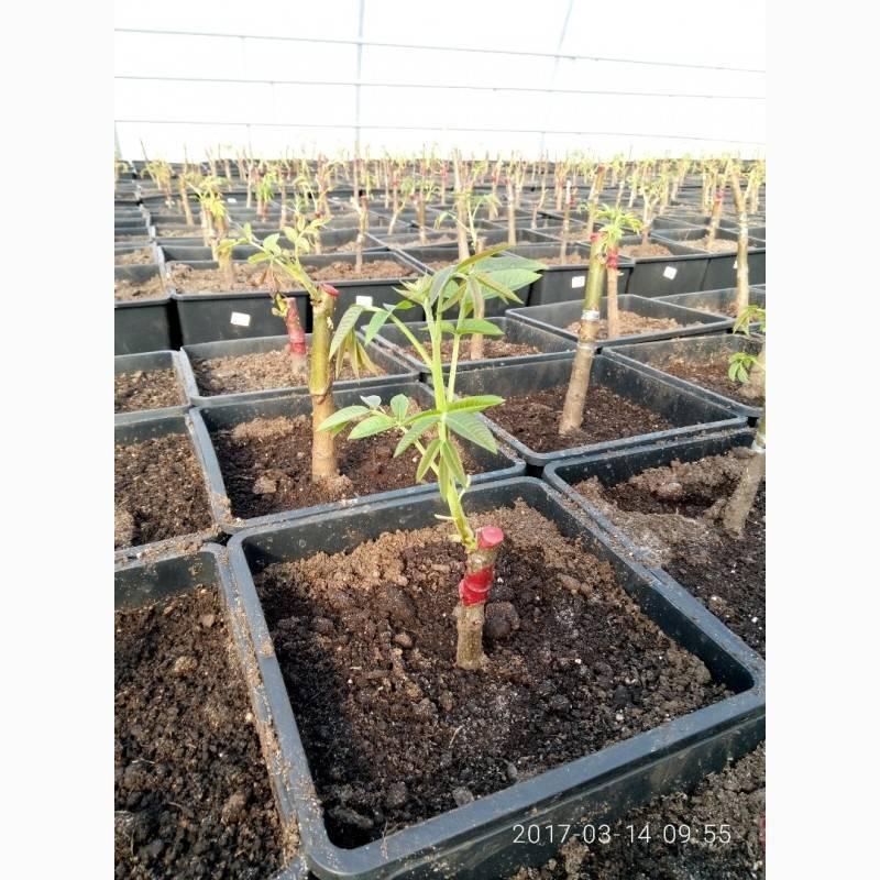 Размножение грецкого ореха, ускоренное прорастание семян
