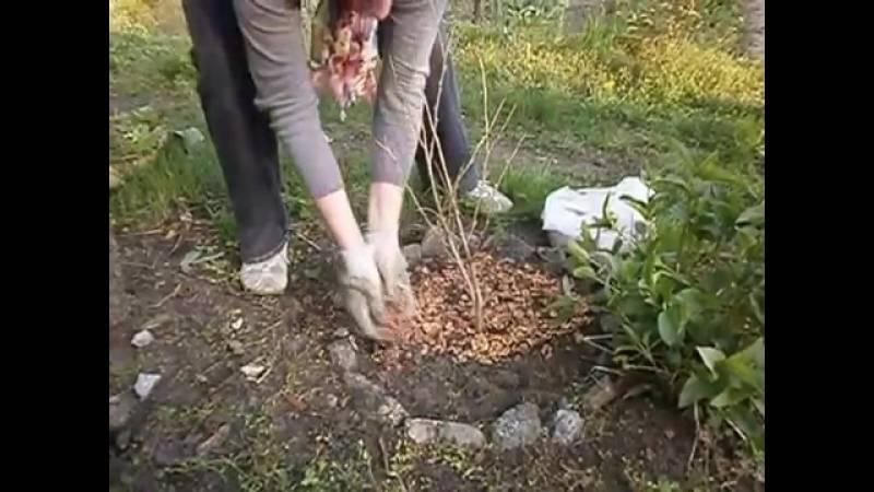 Подготовка грецкого ореха к зиме: нужно ли укрывать саженцы и взрослые деревья от холода, как можно утеплить, когда начинать?