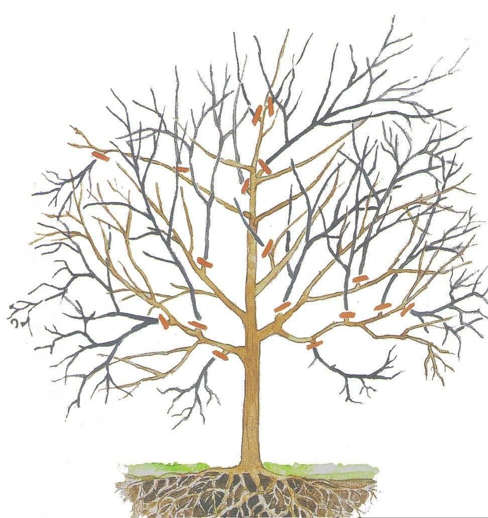 Обрезка грецкого ореха: можно ли, формирование кроны летом и осенью