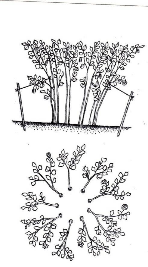 Фундук: выращивание и уход в открытом грунте, выбор сорта и размножение