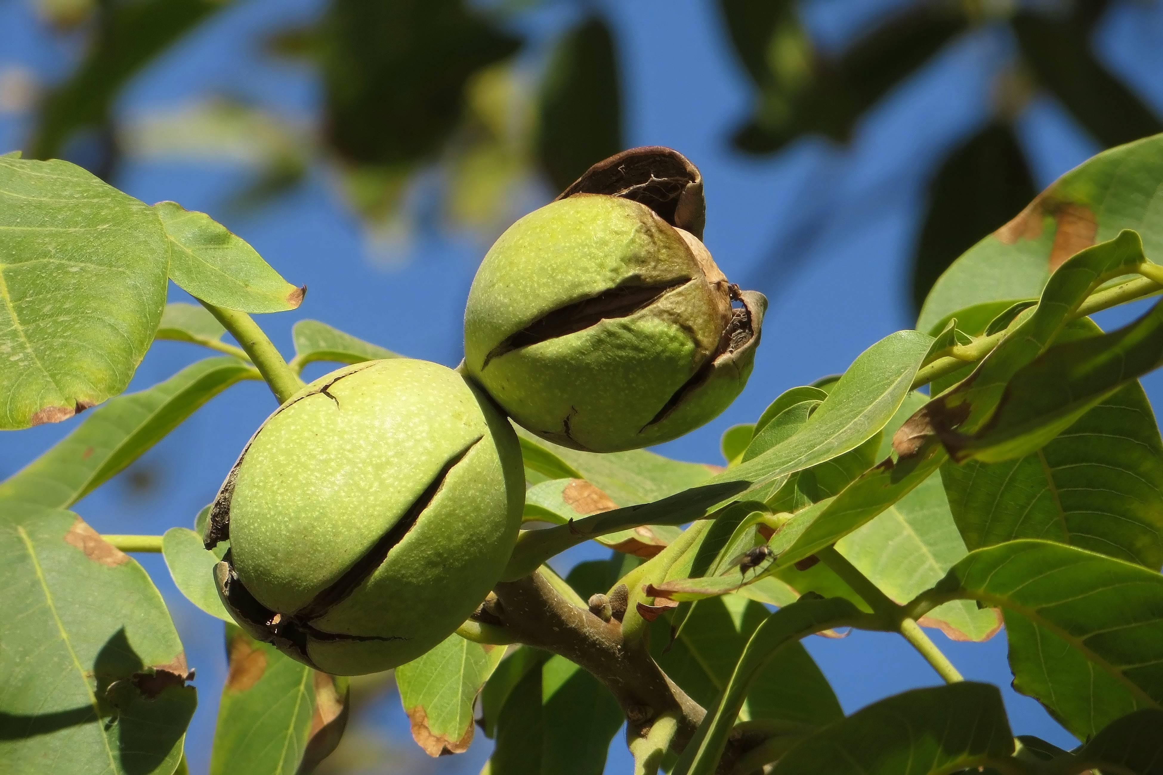 Когда созревает грецкий орех – 6 признаков и советы по сбору