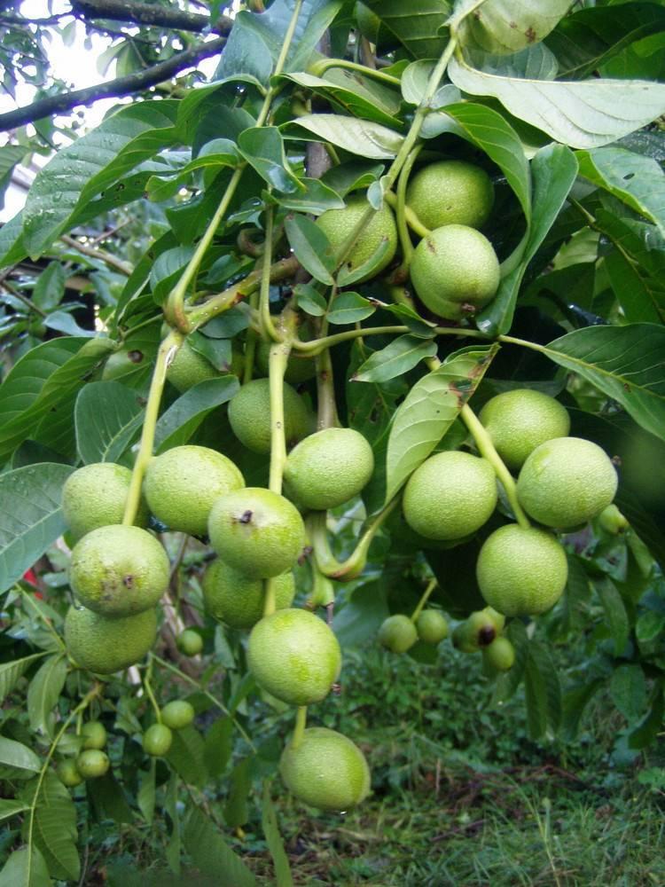 Грецкий орех в подмосковье: выращивание и уход за растением в открытом грунте, лучшие сорта, фото