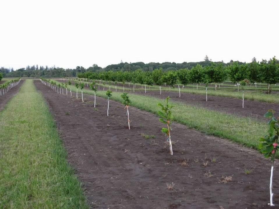 Выращивание фундука (лещина) трапезунд: описание, уход, размножение и польза