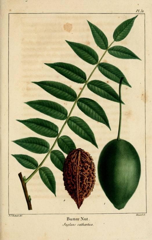 Серый орех: описание, состав, свойства, польза, вред, применение
