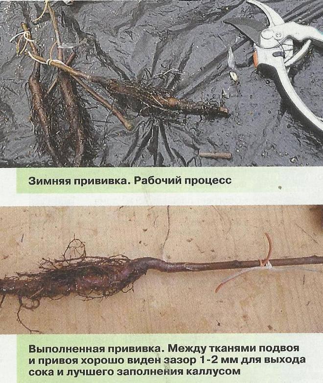 Грецкий орех: прививка, посадка и уход на даче в россии и белоруссии