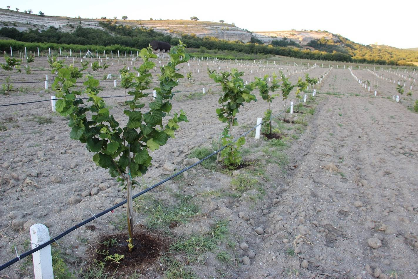 """Промышленное выращивание фундука. инвестиции в сад фундука. сорт """"трапезунд"""". агротехника."""