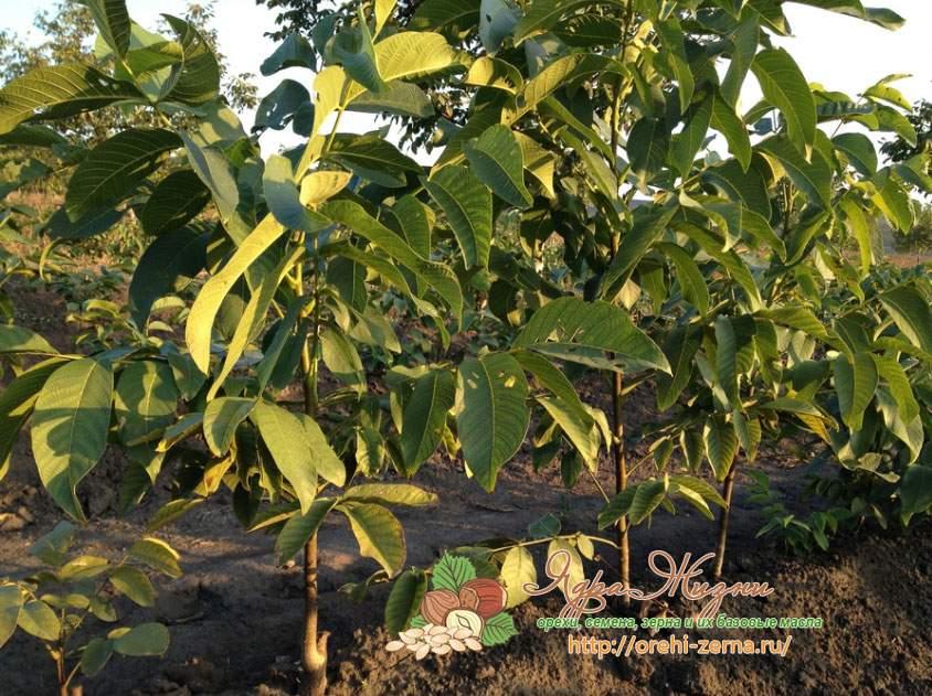 Выращивание грецкого ореха - посадка и уход с упором на скороплодность   сайт о саде, даче и комнатных растениях.