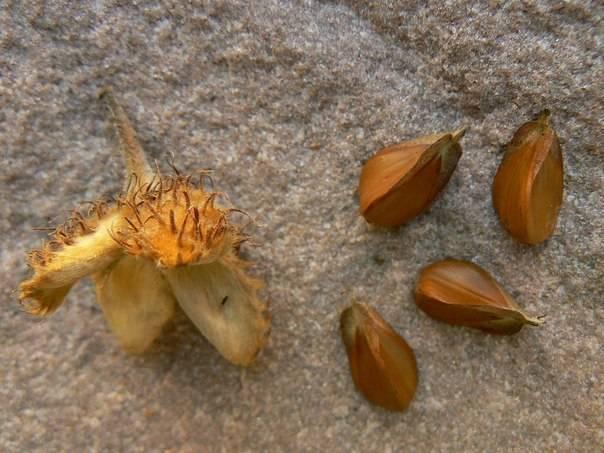 Как растут чинарики. буковый орешек
