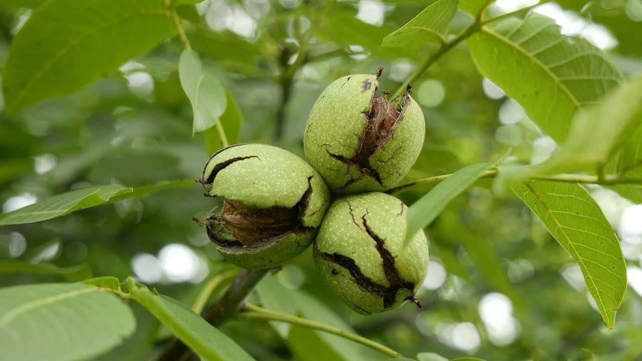 Дерево грецкий орех: как посадить и вырастить здоровое дерево? 115 фото и видео инструкции