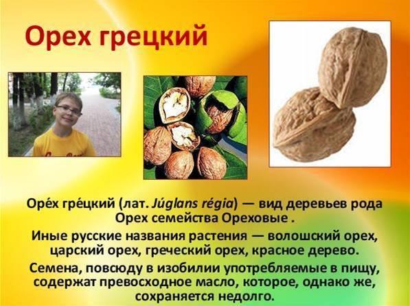 Греции орех. грецкий орех польза и вред для организма человека. свойства грецких орехов