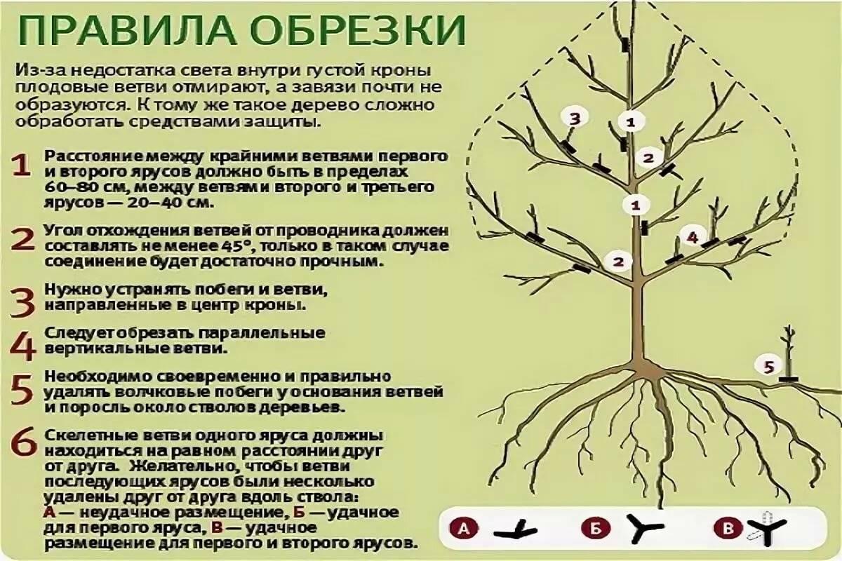 Процедура для роста и урожайности фундука — обрезка весной и в другое время года. Важные нюансы