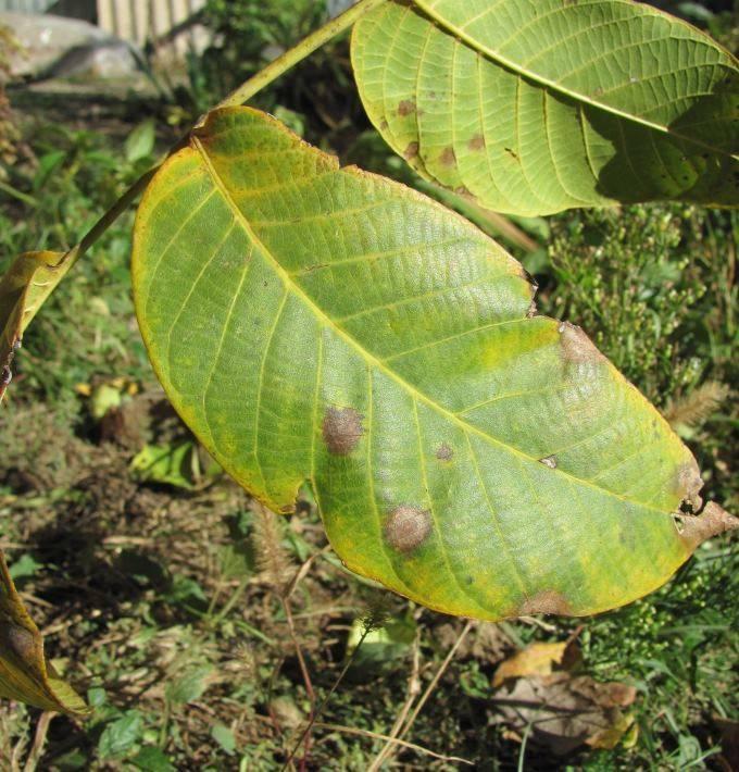 На грецком орехе чернеют листья: почему на кроне появились вздутия, черные, коричневые и темные пятна, что делать и чем помочь дереву, которое сохнет, как лечить?