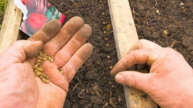 Посадка арахиса в беларуси