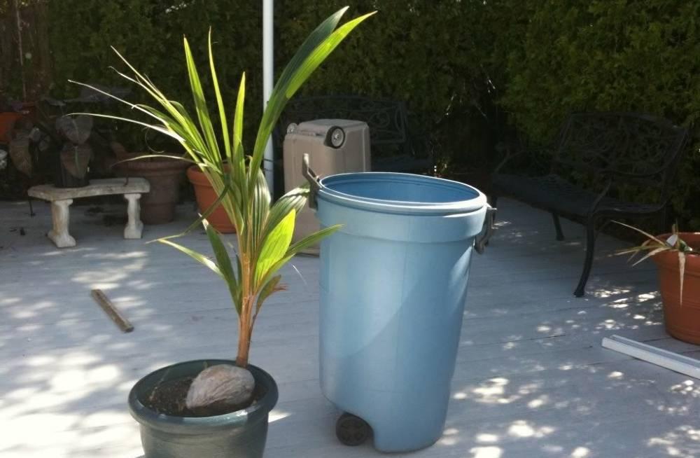 Кокосовая пальма – дерево с очень полезными и «глазастыми» плодами