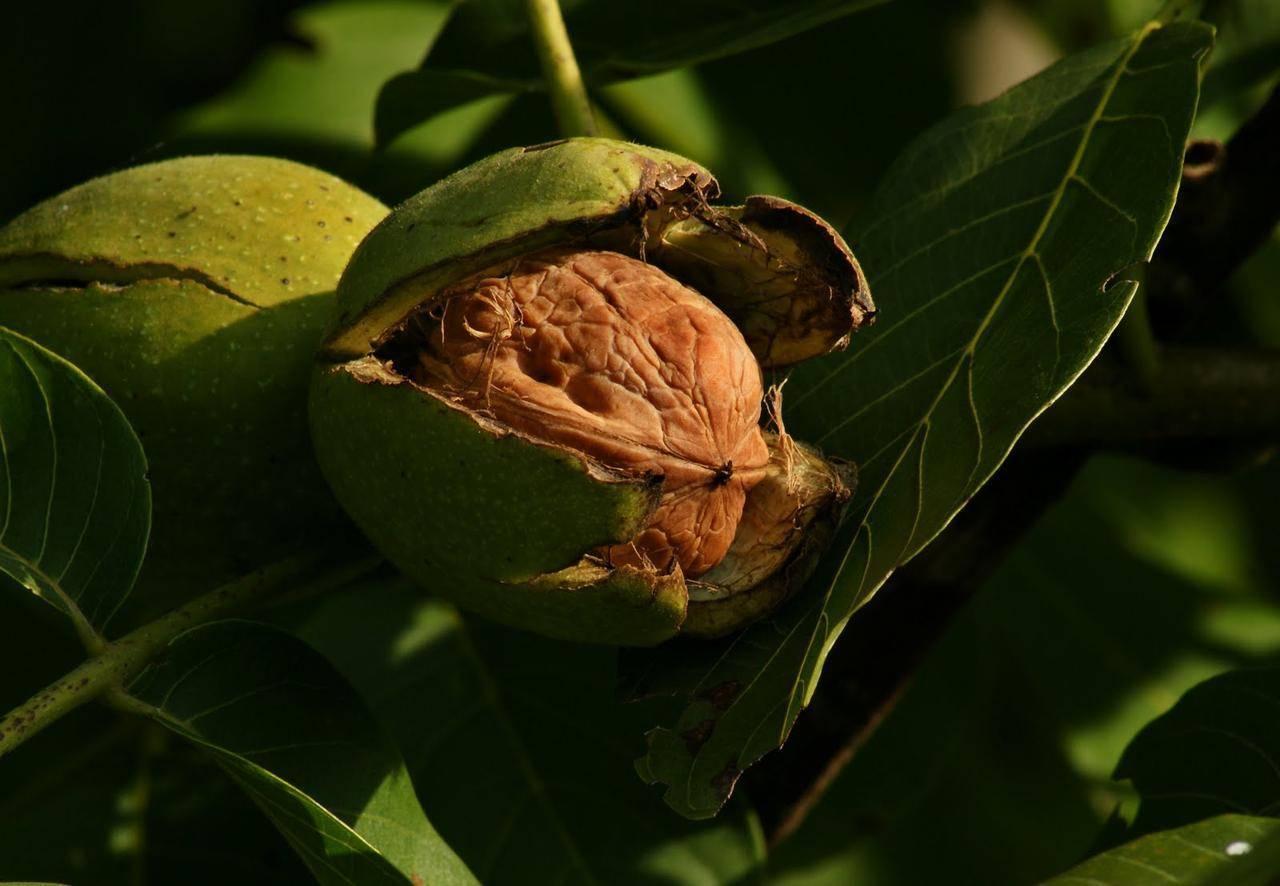 Обрезка и формирование кроны грецкого ореха ⋆ all agro