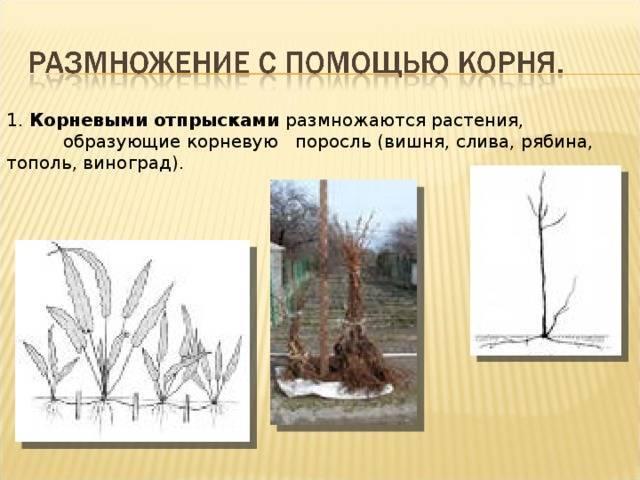 Занятие 5 вегетативное размножение цветочно-декоративных и древесно-кустарниковых растений