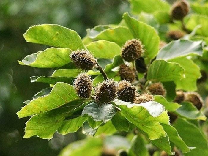 Дерево бук: описание, виды, свойства растения, заготовка, фото